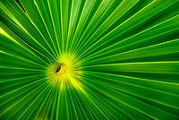 Radiating Heart of a Palm Tree Leaves
